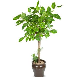 뱅갈고무나무 (170cm내외)